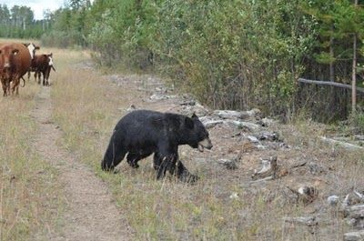 クマと牛の戦い07