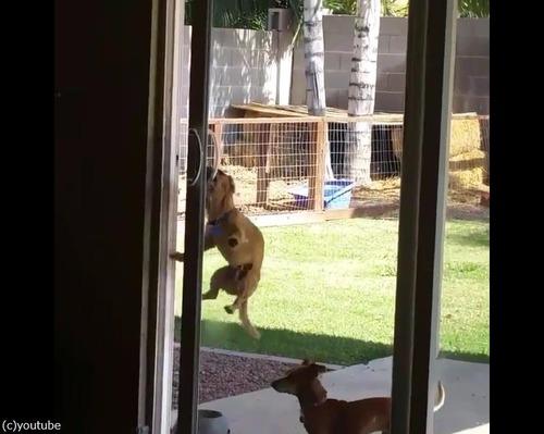 どうにか家に入りたい犬03