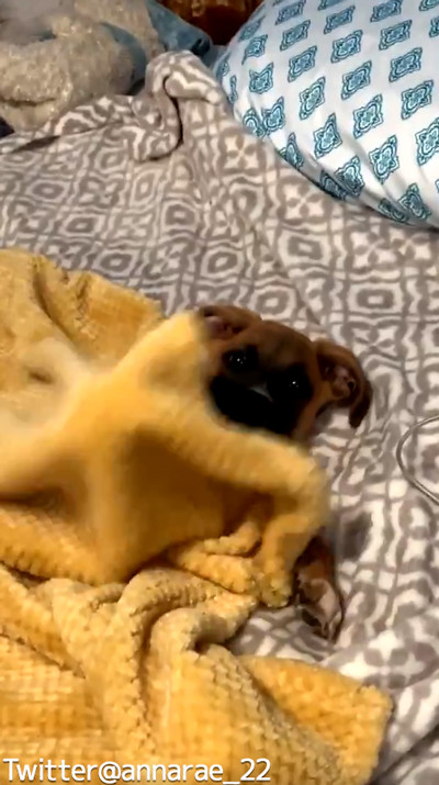 自分で毛布を掛けられるワンコ04