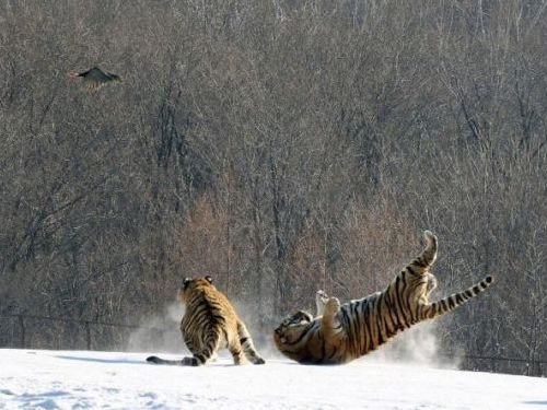 虎のジャンプ失敗04