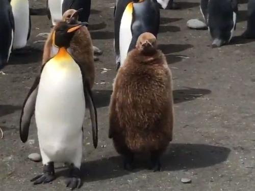 ペンギンの親子02