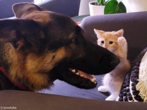 大きさは違えど…子猫と仲良しのシェパード00