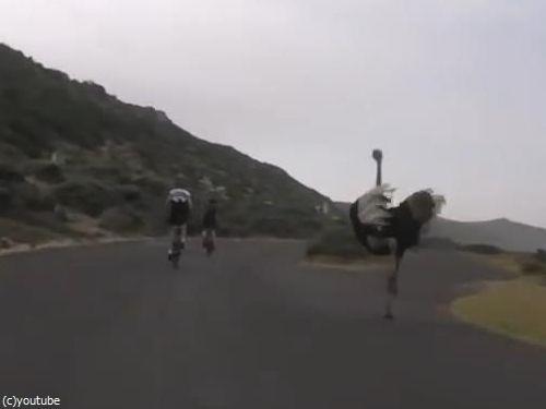 自転車と並走するダチョウ02