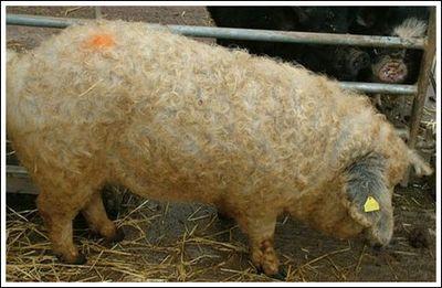 豚と羊の交配種05