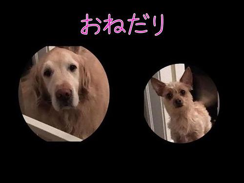 犬2匹のおねだり方法00