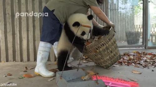 子パンダたちの前で掃き掃除03