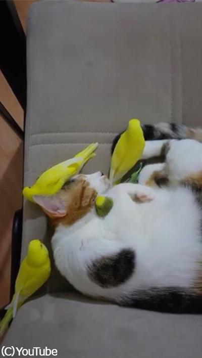 鳥にモテモテのにゃんこ01