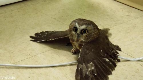 地面を飛ぶフクロウ02