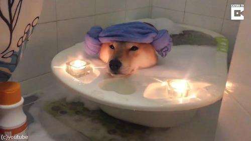 柴犬、泡風呂でリラックス02