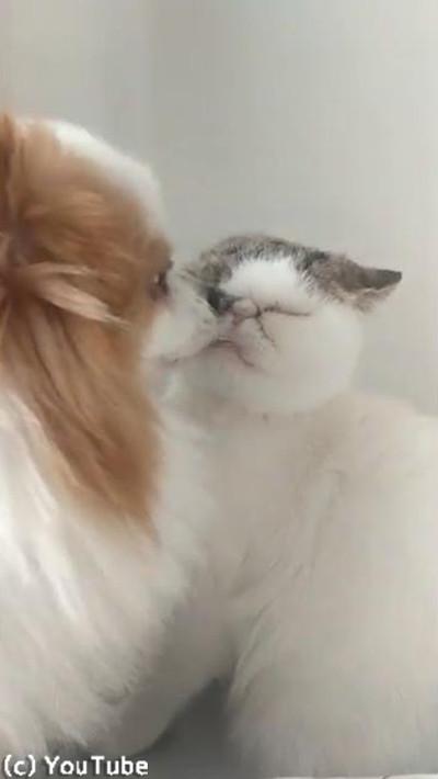 猫への愛情表現が激し過ぎるワンコ01
