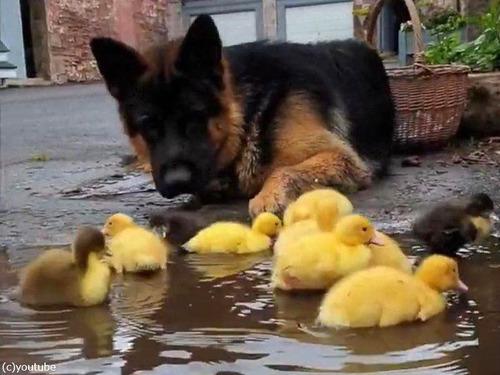 ヒナ鳥を見守る犬00