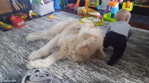 もふもふの犬をベッドにしようとする赤ちゃん06