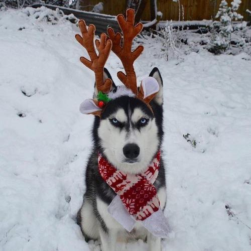 目つきの鋭いハスキー犬にトナカイ衣装04
