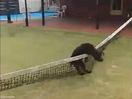 テニスのネットに引っかかった犬の宙返り02