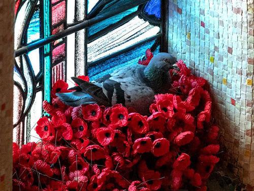 オーストラリア戦争記念館のハト03