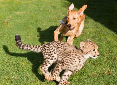チーターと犬の友情04