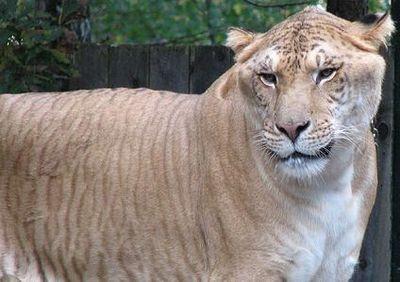 虎とライオンの交配種・ライガーTOP