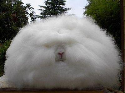 アンゴラウサギ01