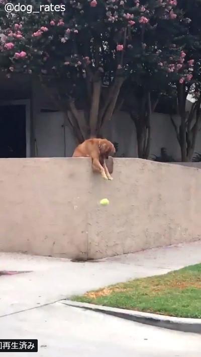 遊んでほしさにわざとボールを落とすワンコ02