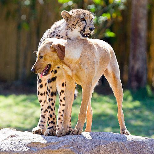 チーターと犬の友情09