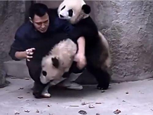 パンダに薬を飲ませる01
