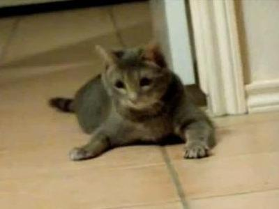 レーザーポインタに幻惑された猫_s
