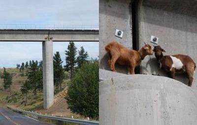 橋の上のヤギ02