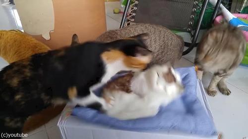 猫のおもちゃにびっくりする猫たち01