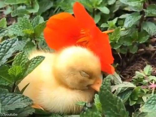 花の帽子をかぶったアヒルの赤ちゃん04