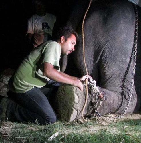 50年間インドで監禁されていたゾウが救出される03