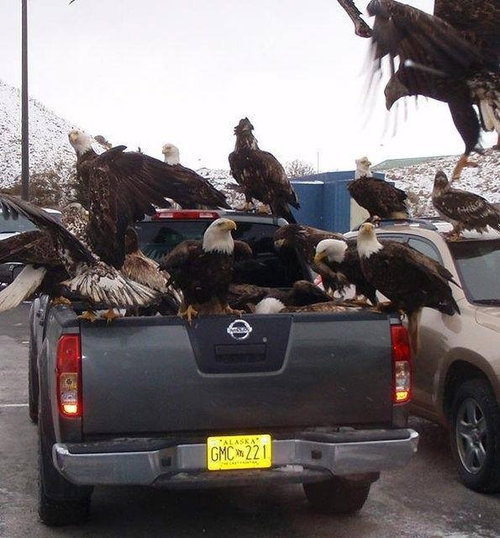 ワシはアラスカにとってはハト01