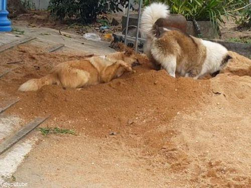 土をかぶり続ける犬05