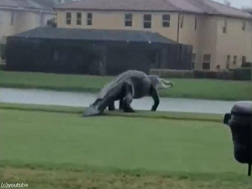 フロリダのゴルフ場に出現したワニ00