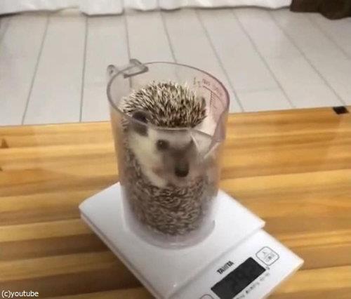 ハリネズミの体重05