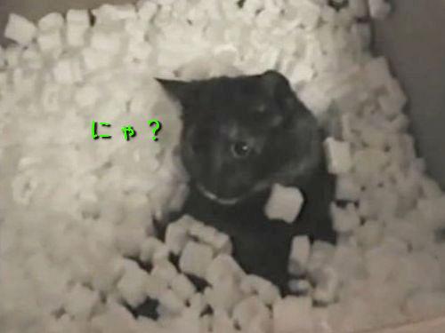 発泡スチロールと猫00