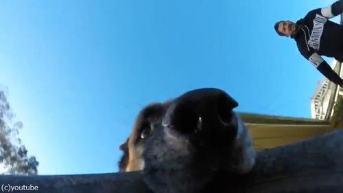 GoProをつかんで離さないシェパードが可愛い03
