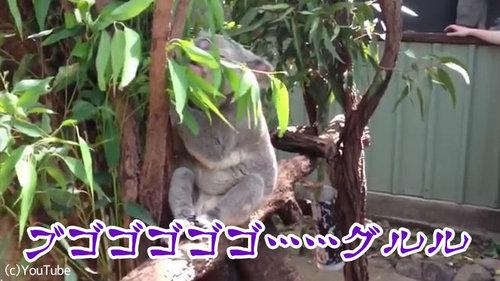 コアラの鳴き声02
