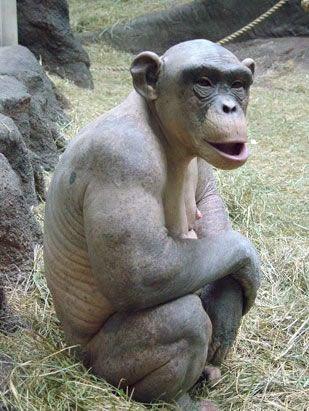 毛が無いチンパンジー06
