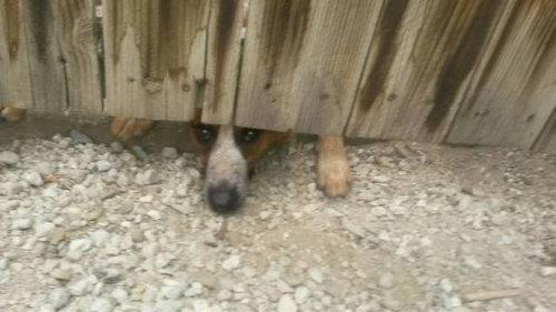壁越しに会いたがる犬たち06