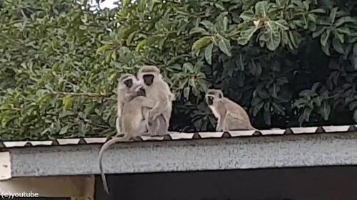 ケガした猿が家族の元へ06