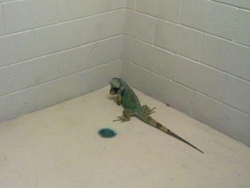 イグアナが刑務所に02