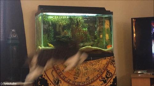 水槽を狙う猫07
