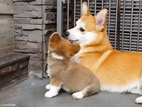 子犬に座り方を教えるコーギーの親05