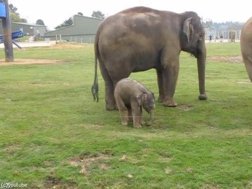 赤ちゃんゾウと鼻04