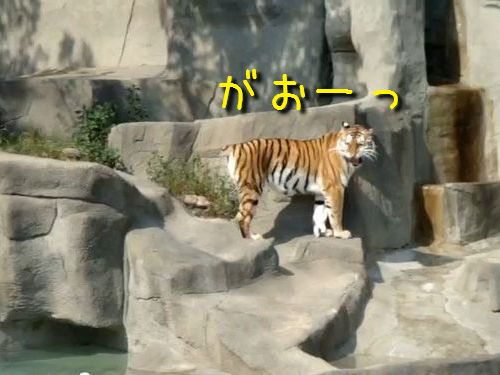 鳥に敗れるトラ