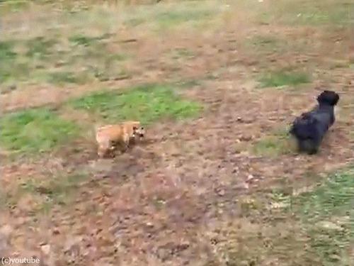 犬の赤ちゃんが追いかけっこの途中でパタリ02