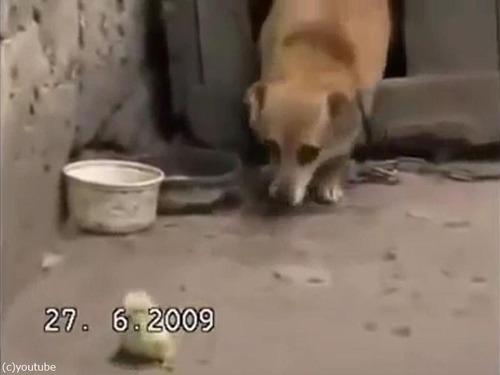 ヒヨコを保護する犬00