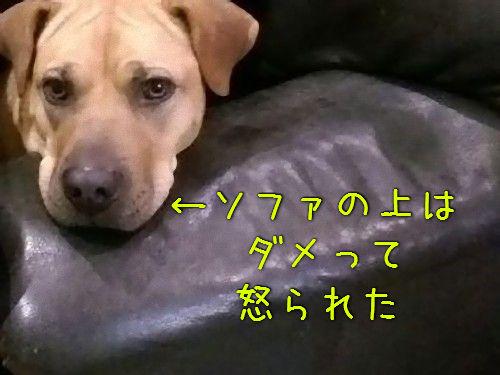ソファの上を禁止された犬00