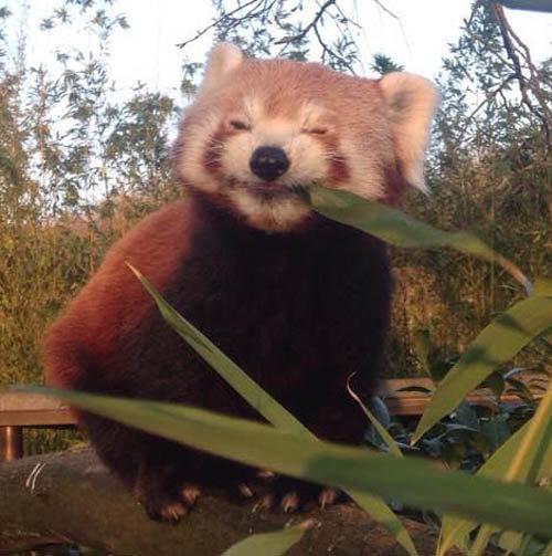 笹を食べるレッサーパンダ03
