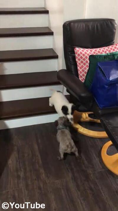 階段を下りられない弟を助けるお姉ちゃんワンコ05
